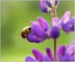 Bee Purple Lupine