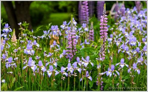 Iris Lupines