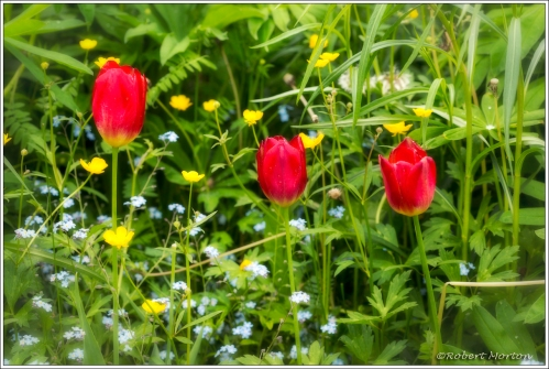 Tulips Buttercups