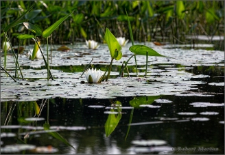 Lily Pads Lily