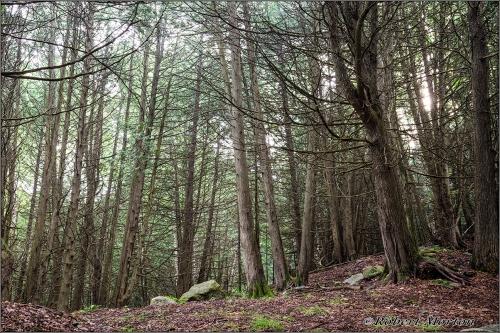 Cedar Bush 2
