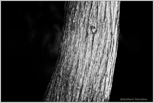 Cedar Trunk Mono