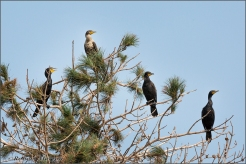 Cormorant Group