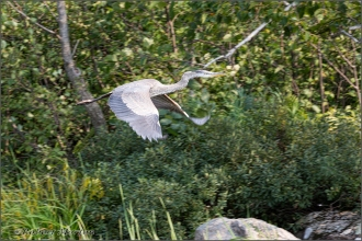 Great Blue Heron 7