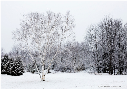 Birch in Snow