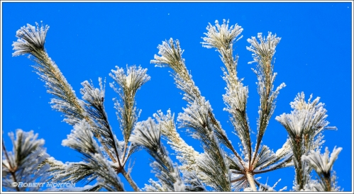 Frosty Fronds