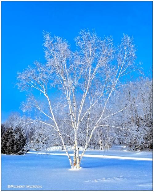 Luminous Birch