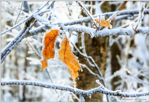 Oak Leaves Frost