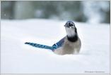Jay in Snow II