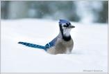 Jay in Snow III
