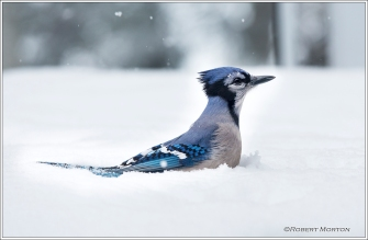 Jay in Snow