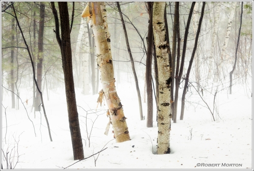 Foggy Birch