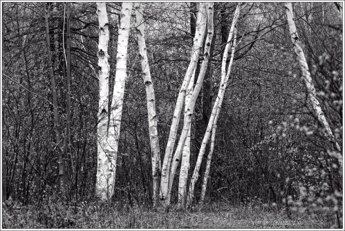 Laurier Birches BW