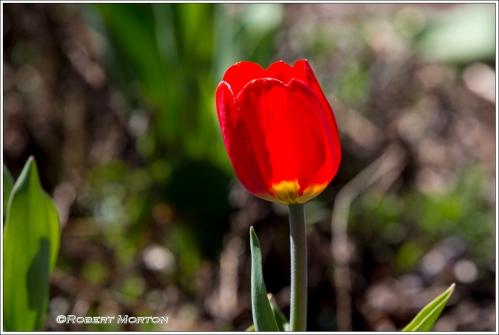Red Tulip 2