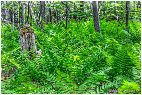 Laurier Ferns