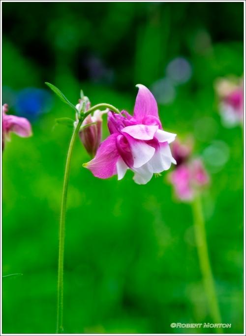 Sweetman's Pink Flower
