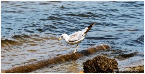 Tip Toe Seagull