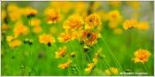 Yellow June II