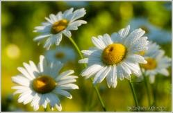 Daisies I