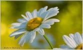 Daisies II