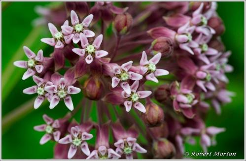 Milkweed Flowers