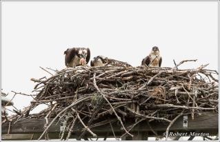 Osprey Family 5
