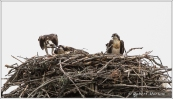Osprey Family 6