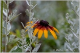 Black Eyed Susan III
