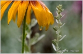 Black Eyed Susan IV