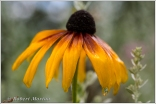 Black Eyed Susan V