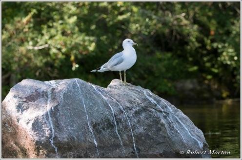 Gull Rock 1