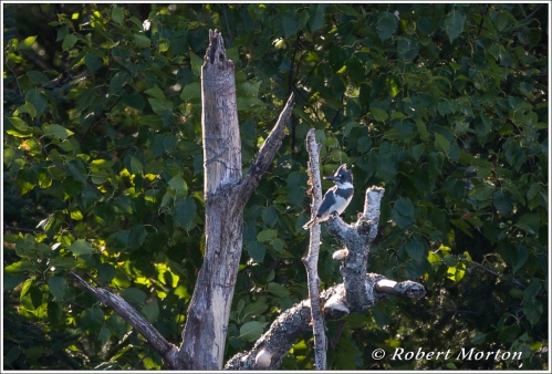 Kingfisher Perch II