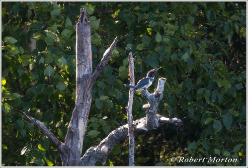 Kingfisher Perch