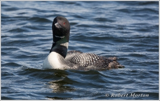 Loon Portrait I
