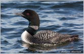 Loon Portrait II