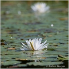 Water Lily 10