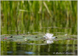 Water Lily 5