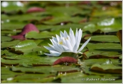 Water Lily 7
