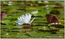 Water Lily 8