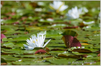 Water Lily 9