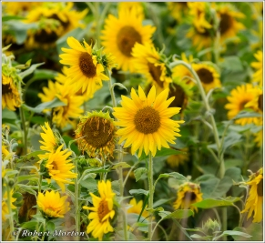 Sunflowers IX