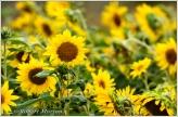 Sunflowers VII