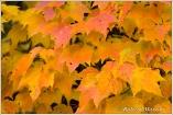 leaves-xi