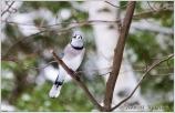 snow-beak