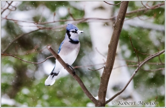white-beak