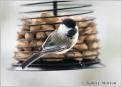 chickadee-2