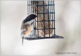 chickadee-suet