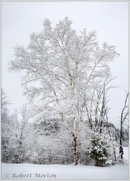 snow-birch
