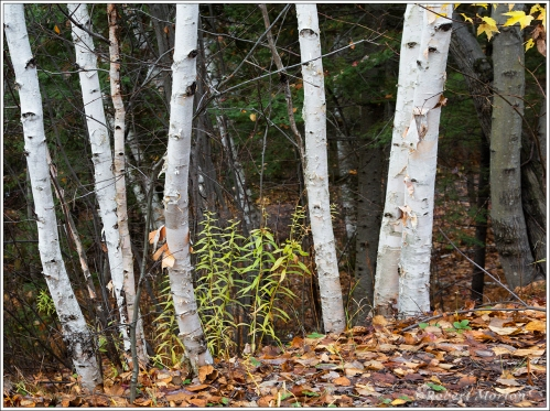 fall-birches