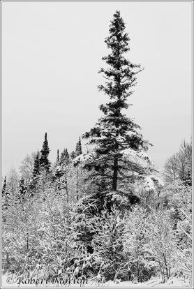 lone-spruce